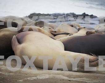 Seals Laying on Rocks Near Ocean San Diego California