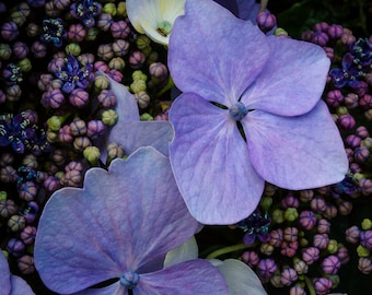 Nature Photography, Outdoor Photography, Olympic Peninsula, Washington, Hydrangea Flowers in Bloom