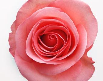 Passion Pink Rose Cross Stitch Pattern