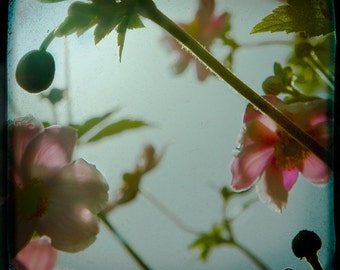 Blue Pink Flower Photograph--Anemonie Jungle Blue--TTV  Fine Art