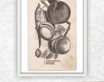 Peach Print / Plant Art / Fruit Print / Book Page / Engraving Wall Art / Digital Instant Download / Antique Print / Victorian Art Print