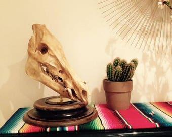 Skull of real bones on base old boar