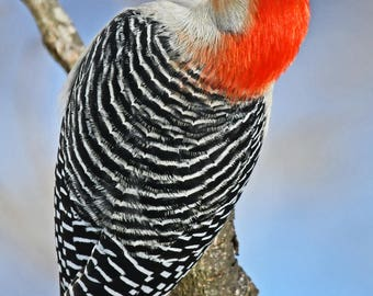 Red bellied woodpecker 3, Charlotte, NC: archival print signed and matted