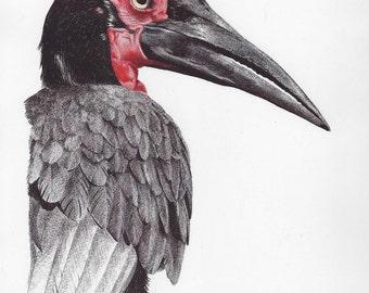 Ground Hornbill Bird Print