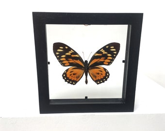 Papilio Zagreus Butterfly/Insect/Taxidermy/Lepidoptera