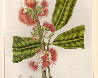 Vintage XLlarge ROSE APPLE BLOSSOMS Botanical Print 126 Antique Flower print, bookplate art print, flowers flower wall print wall art