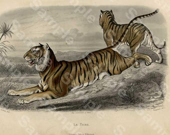 Tigers,Original Hand Colored Engraving decorative engraving by Edouard TRAVIES rare french Edition