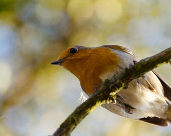 Robin Photograph, Wildlife Photography, Robin, Trees, Wall art, Birds, Bird photograph, Bird photography