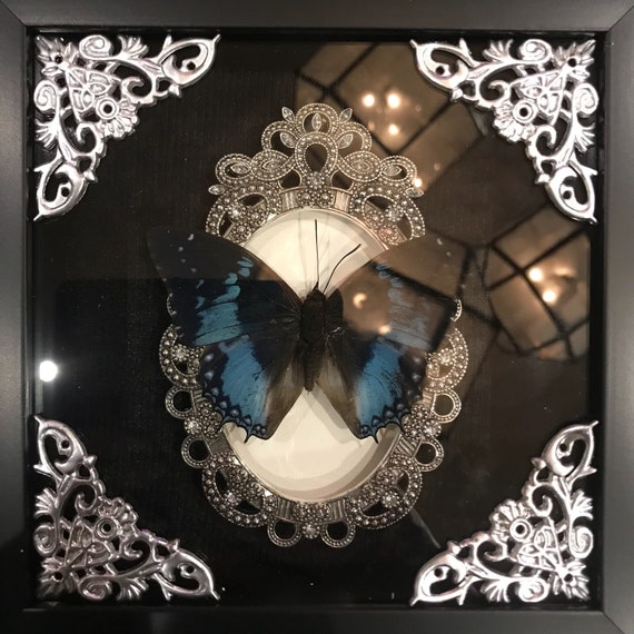Real blue butterfly taxidermy display! Must see!
