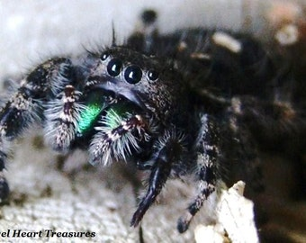 """Nature Inspired Single Photo Greeting Card or Print--Jumping Spider Up Close """"Hello Spider!""""--#25"""