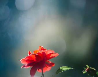 """red flower photo, flower photography, seeking light, nursery art, wall art: 11x16 or 8x12 photograph, """"Morning Light"""""""