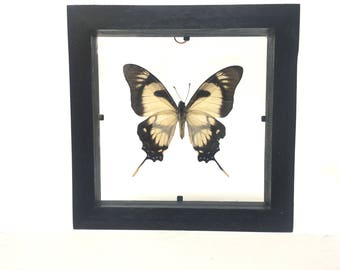 Eurytides Dolicaon Butterfly/Insect/Taxidermy/Lepidoptera