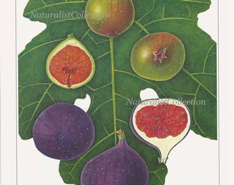 Fruit Print 1991 Vintage Art Original Book Plate 57 Beautiful Fig Chart Tropical Plant Home Kitchen Dining Room Decor