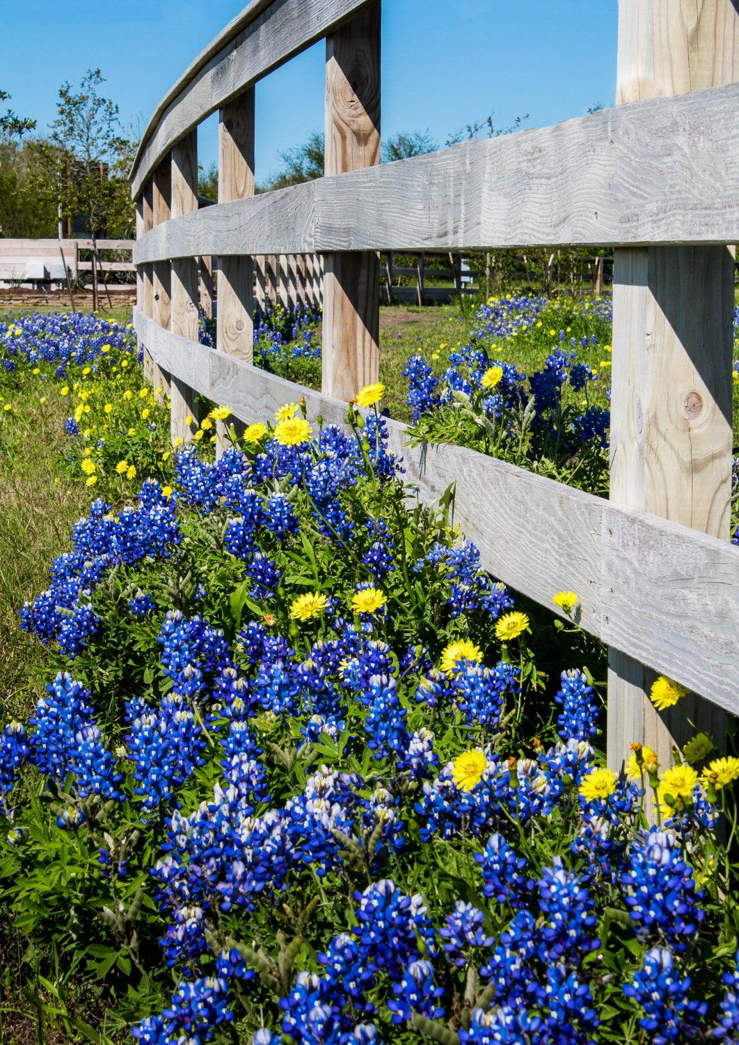 Bluebonnets In The Spring Spring Flowers Texas Canvas