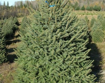 TreesAgain Meyer Spruce Tree - Picea meyeri - 3 to 5+ inches (see state restrictions)