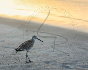 Sandpiper in Panama