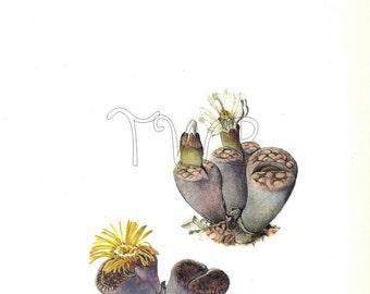 Cactus Print,  Botanical Print, Art Print, Home Decor, Book Plate, Illustration, Wall Decor, Lithops aucampiae, Yellow, A-14
