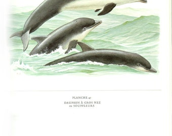 1970 Vintage bottlenose dolphin poster dolphin watercolor Vintage dolphin art dolphin painting dolphin decor dolphin gift  mammals of Europe