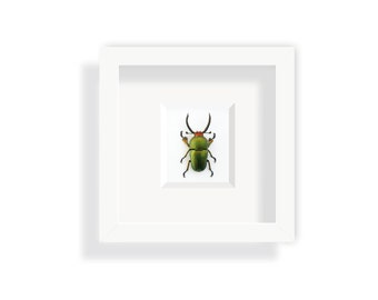 Real beetle in a frame – Green metallic stag beetle from Westpapua