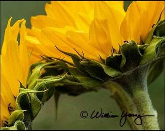 Sunflowers Magnified (5204), Fine Art Photography, Art, Photography, Sunflower, Sunflower Photo, Floral Photography, Flower Photo, Macro