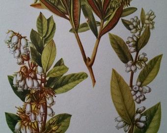 Staggerbush, fetterbush & Labrador tea, antique botanical litho print, 1954