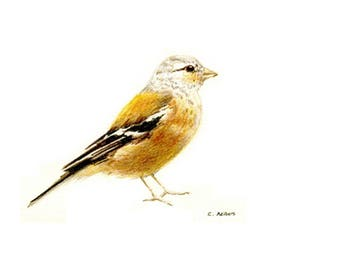 Song Bird Original Hand Drawn Colored Pencil Sketch