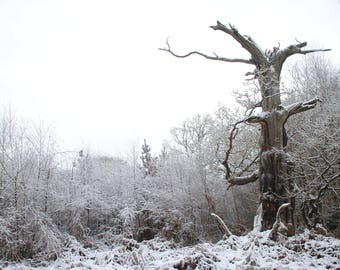 Stark. An Old Sherwood Oak in the depths of winter. Photographic Print in A4, A3 or A3+