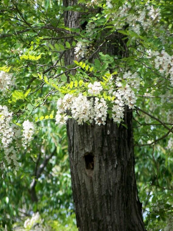 Flowering locust tree photograph white cascading mightylinksfo