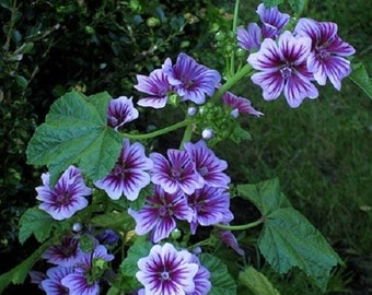 7 French Hollyhock Seeds-1192