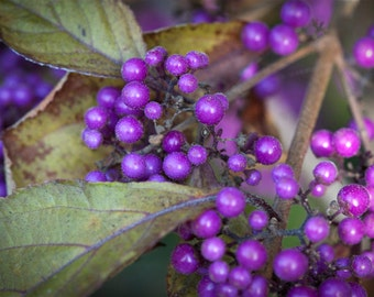 Purple berries photo, berries canvas, berries print, macro nature photography, small canvas, large canvas, purple and green