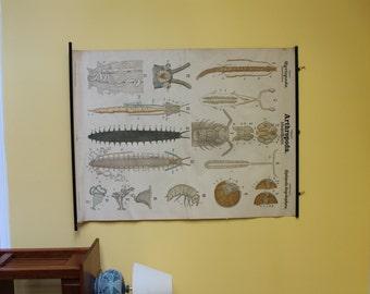Leuckart Zoology Chart – Series I, Chart 38 - Arthropoda/Myriopoda/Diplopoda/Onychophora