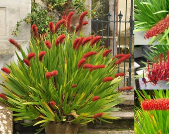 Extremely Rare * Xeronema callistemon * Poor Knights Lily * Vulnerable * 4 Seeds
