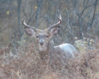 8x10 Photograph of Buck