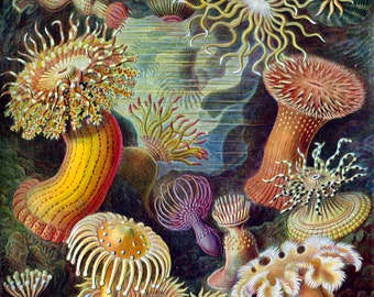 Ernst Haeckel Botanical Print - Sea Anemone Biology Home Decor Wall Decor Giclee Art Print Poster A4 A3 A2 Large Print FLAT RATE SHIPPING