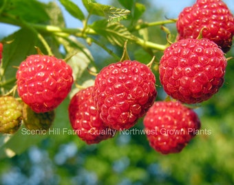1 - 12 Heritage Raspberry Potted Plants - Ever Bearing - Dark Red Berries - Free Shipping!
