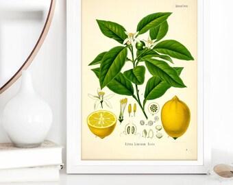 lemon tree botanical print | botanical illustration | vintage poster | botanical poster | vintage print | lemon flower illustration