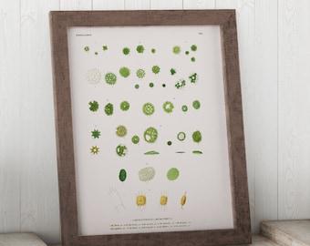 Micrasterias, Algae through the Microscope Science Print - Biology Art - Micro-organism Print - Microbiology Art - Science Student Gift