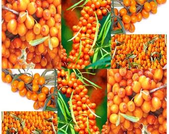 Sea Buckthorn - Seaberry Sea Berry - Hippophae Rhamnoides - Medicinal Shrub Seeds - Very High Antioxidants Level, Choose from 100 or 3,200