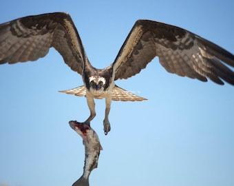 Flying Osprey Photo ~ Bird Photography ~ Man Cave Decor  ~ Nature Photography Bird Lover Wild Bird Hunting Animal Photography Fine Art Print