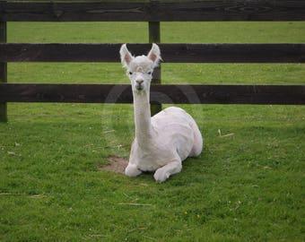 White Alpaca Photograph Digital Download Photography Art Print