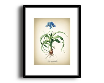Botanical Art Print - Vintage Botanical Print - Iris Scorpiodes Illustration Print - Redoute Botanical Print - Nature Art Print