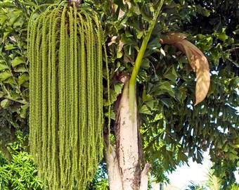25 Caryota urens  Seeds, Fishtail Palm, Jaggery Palm, Toddy Palm, Wine Palm Seeds