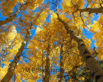 Aspen - Estes Park, Colorado - Estes Park - Colorado - Rocky Mountain National Park - National Park - Golden Aspen - Fine Art Photography