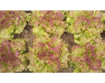 Lettuce 'Prizehead' 200+ Seeds