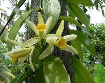 Vanilla Absolute, Indonesia (Vanilla planifolia) Absolute Indonesia Perfumery Fixative Warm Rich Vanilla Scent All Natural Pure Fragrance