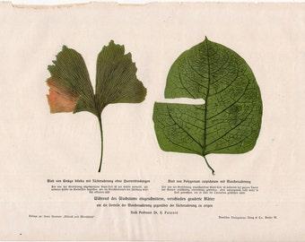 1900 LEAVES PLANT LITHOGRAPH - original antique botanical flora print