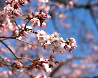 Rosa Kirschblüten Kunstdruck Natur Fotografie Blau Blume Cherry Tree Spring-Dekor-Zen-Wand-Kunst Wand-Dekor