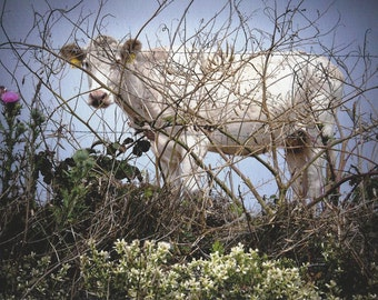 Point Reyes National Seashore, Dairy Cow on Historic Ranch, 2014.  An Original Photo Art Card.