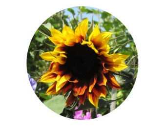 Sunflower Art Print, Instant Download, Sunflower Decor, Sunflower Photo