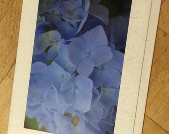 Beautiful blue Hydranga
